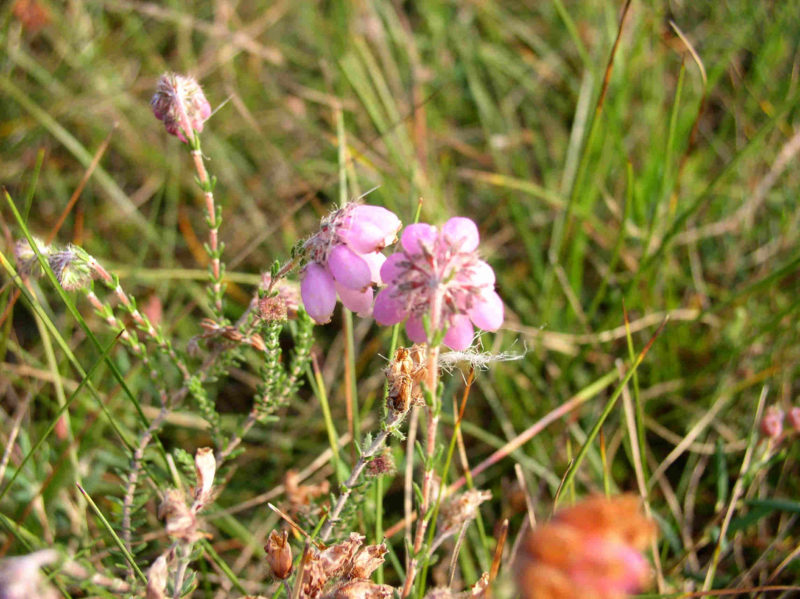Moorblumen – Überlebenskünstler im Extrem Habitat