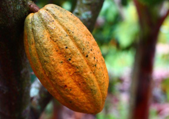 Schokoreise – Von der Kakaopflanze bis zu uns nach Hause