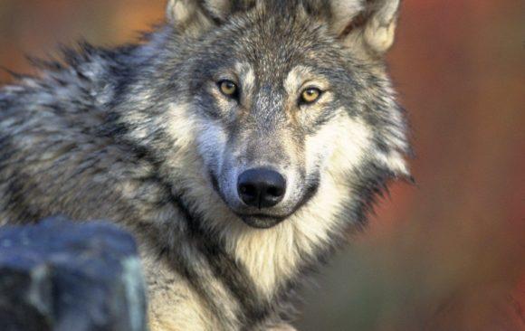Wolfsveranstaltungen und -ausstellung ab 1. Oktober 2021!
